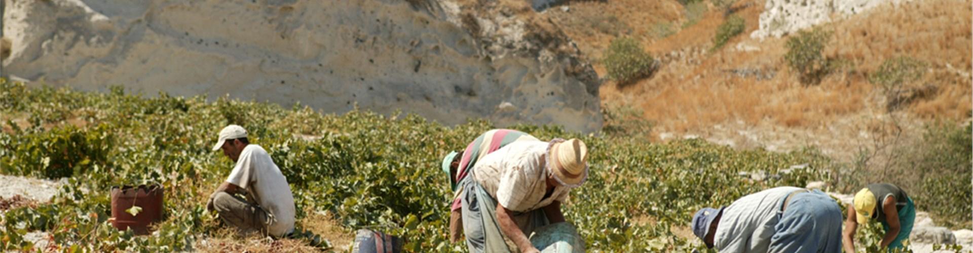Argyros Estate Winery  - Wineries - Santorini